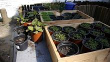 The members of the centre planted seeds into pots in spring and they are now growing